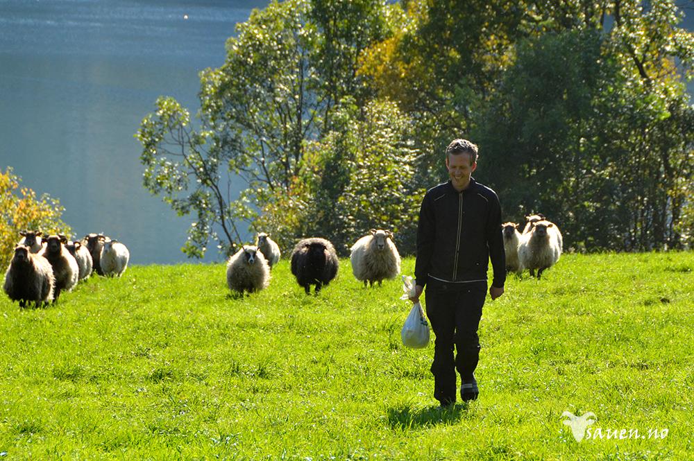 sau, sheep, gammalnorsk spælsau, bilde av sau, foto, vêr, vær, Bremanger, Ålfoten
