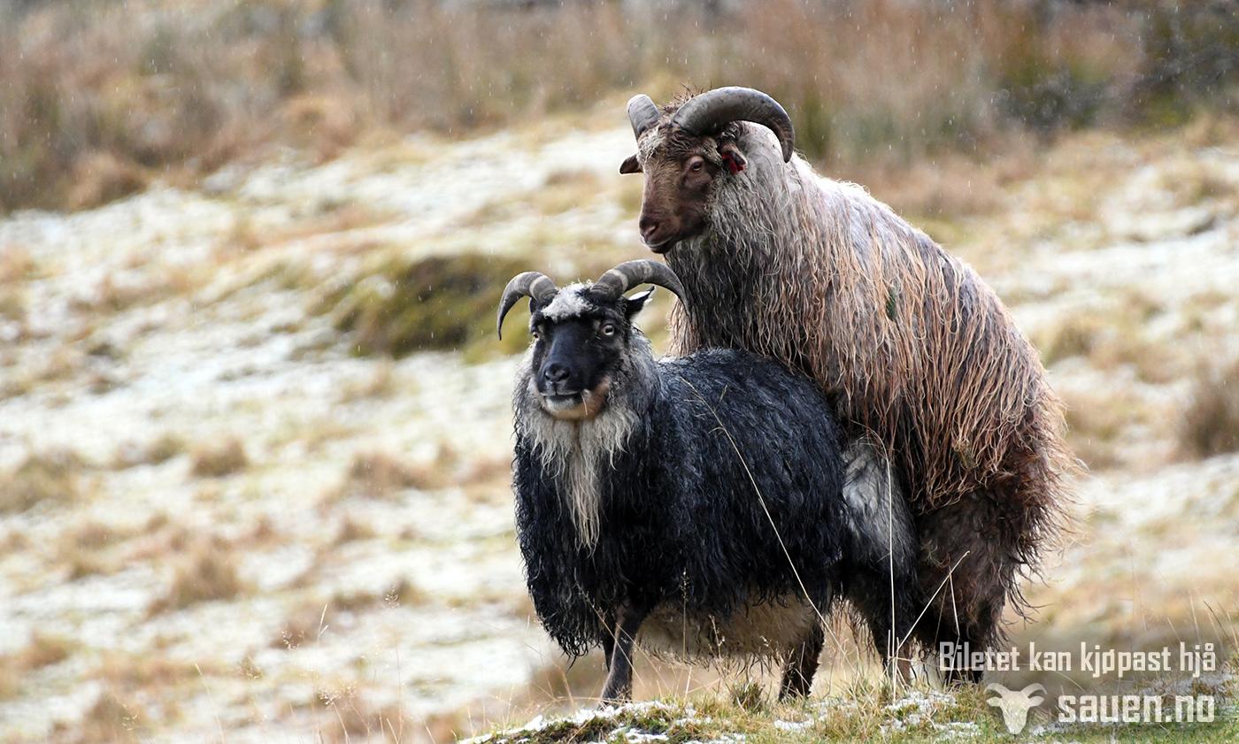 sau, sheep, gammalnorsk spælsau, bilde av sau, foto, sauen, paringstid, meetoo