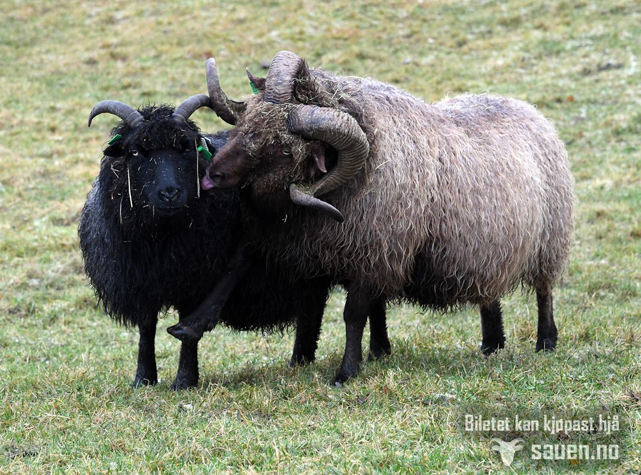 sau, sheep, gammalnorsk spælsau, bilde av sau, foto