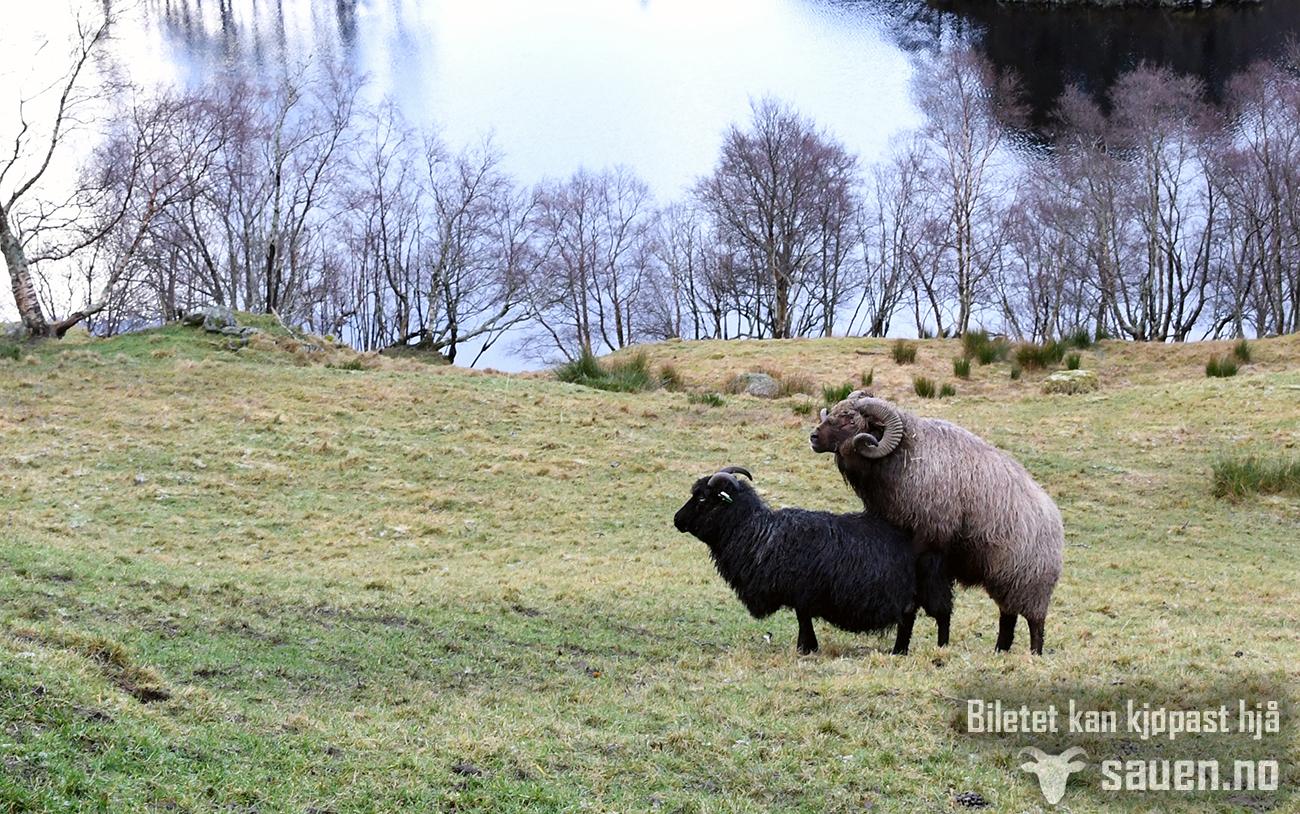 sau, sheep, gammalnorsk spælsau, bilde av sau, foto, sauen