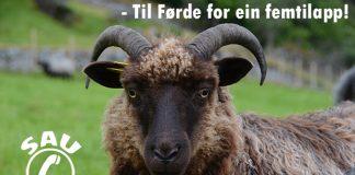 sau, sheep, gammalnorsk spælsau, bilde av sau, foto, sauen, slaktepriser, slakteoppgjør, slakteoppgjer