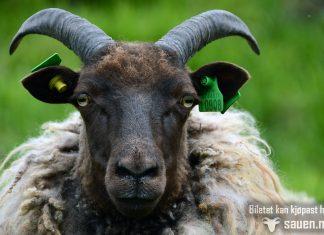 gammalnorsk spælsau, sauen, sau, kim larsen, bilder av sau, bilde av sau, sheep, photo
