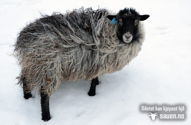 vinterteneste, vinter, sau, gammalnorskspælsau, foto av sau, bilde av sau