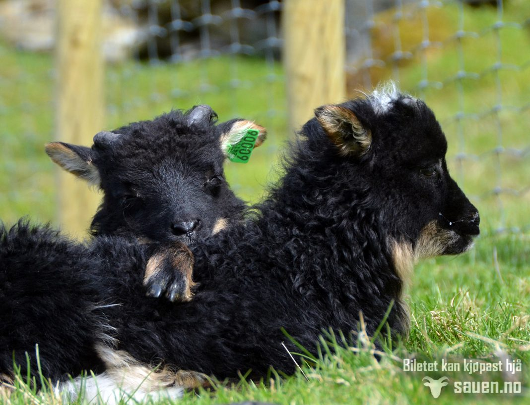 sheep, gammalnorsk spælsau, sau, foto, bilde av sau