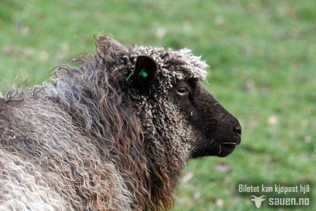 Utsjånad, sau, sheep, gammalnorsk spælsau, bilde av sau, foto, sauen