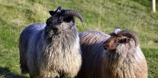 sau, sheep, gammalnorsk spælsau, bilde av sau, foto, vêr, vær