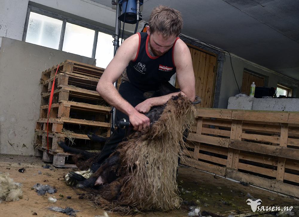 sau, sheep, gammalnorsk spælsau, bilde av sau, foto, sauen, kommunikasjon, kommunikasjonssvikt, saueklipping, klipping av sau