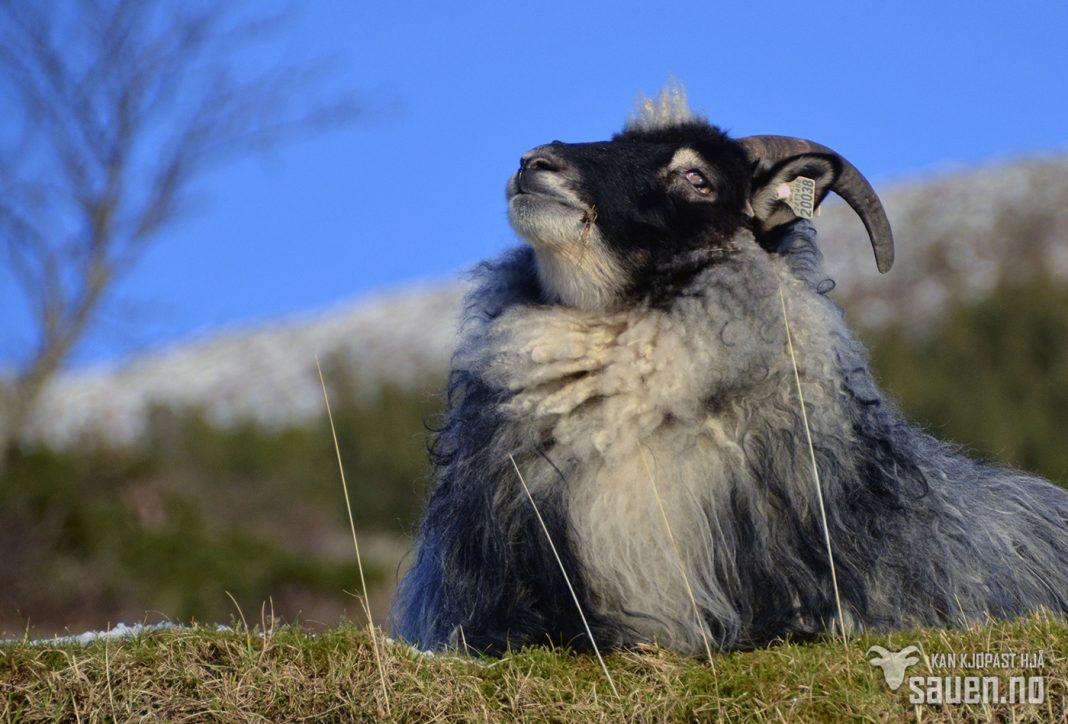 bilder av sau, sau, bilde av sau, gammalnorsk spælsau, sheep, photo of sheep