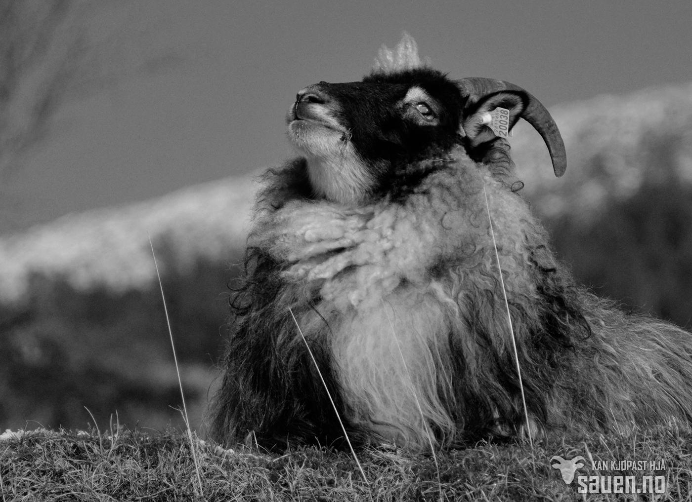 bilder av sau, sau, bilde av sau, gammalnorsk spælsau, sheep, photo of sheep, bw