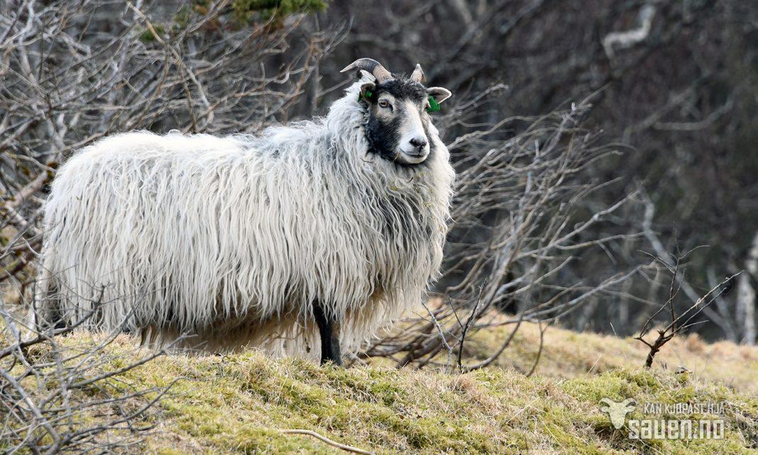 bilder av sau, sau, bilde av sau, gammalnorsk spælsau, sheep, photo of sheep, bw, gammalnorsk spælsau