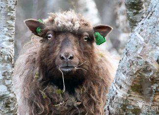 bilder av sau, sau, bilde av sau, gammalnorsk spælsau, sheep, photo of sheep, gammalnorsk spælsau