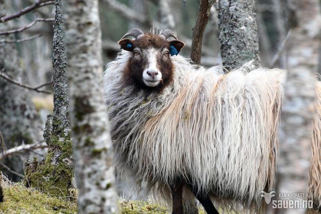 bilder av sau, sau, bilde av sau, gammalnorsk spælsau, sheep, photo of sheep, gammalnorsk spælsau