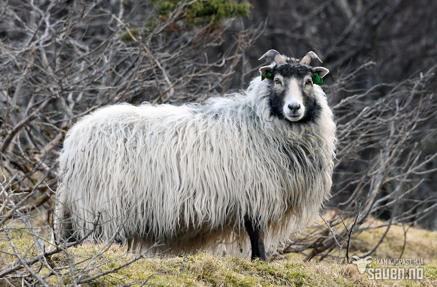 bilder av sau, sau, lerret, bilde av sau, gammalnorsk spælsau, sheep, photo of sheep, gammalnorsk spælsau