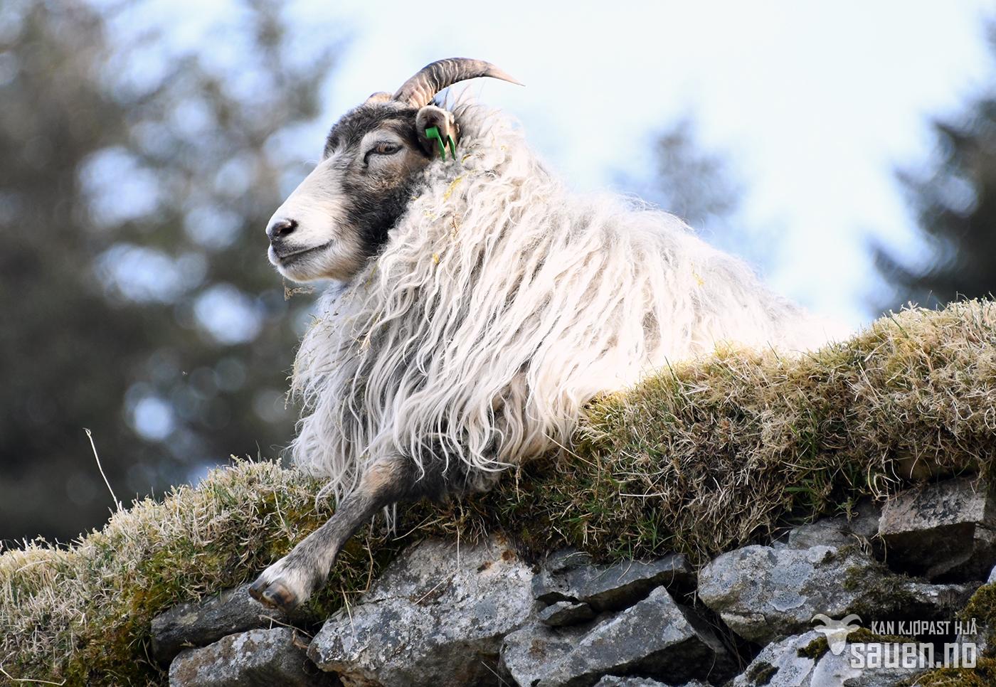 bilder av sau, sau, lerret, bilde av sau, gammalnorsk spælsau, sheep, photo of sheep, gammalnorsk spælsau